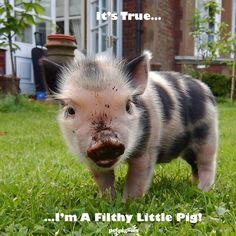 filthy-little-micro-pig-petpiggies