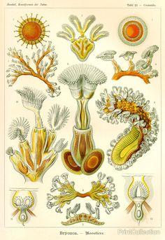 Bryozoa - Scheiben-Strahlinge - Heliodiscus