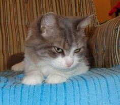 Pegee is an adoptable Domestic Medium Hair - Gray And White Cat in Margaretsville, NS. DOB November 30,2012, If you want a swee- natured, kind, loving gal to hang out with on a cold winter night, Peg...