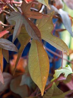You can't beat this fast-growing plant for bold summer color. It produces bronze, purple, or chartreuse foliage depending on the variety and grows quickly once temperatures heat up. Use it in containers or as a dramatic groundcover./