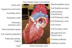 Bio 202 MCC Picasa Heart Pictures and Models.