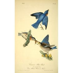 Birds of America 1844 Common Blue Bird Canvas Art - JJ Audubon (18 x 24)