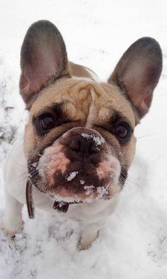 Baya french bouledogue, French Bulldog
