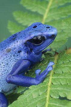 Blue Poison Frog, Dendrobates azureus
