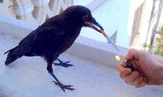 https://i.pinimg.com/236x/cb/82/ae/cb82ae816ce2844d93ad7cea70ea8ef2--crows-smoking.jpg