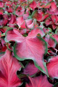 "Caladium ""Florida Red Ruffles"" for shade"