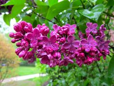 Jenny Steffens Hobick: Flashback : Lilac Season | Mr. Darcy Stopping to Smell the Flowers | Lilacs in Concord, Ma.