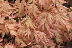 Acer palmatum 'Naniwa beni'