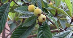 Attraktiv an der Wollmispel (Eriobotrya japonica) ist vor allem das dekorative Laub. Die 20 bis 25 cm langen, lederartigen Blätter sind oberseits glänzend dunkelgrün, unterseits weiß-wollig behaart. Von September bis November erscheinen die weißen duftenden Blüten in kleinen Trauben am Ende der Zweige. Die essbaren, pflaumengroßen, gelben bis orangeroten Früchte entwickeln sich von Februar bis Mai, haben einen säuerlich-süßen Geschmack und ein festes Fruchtfleisch. Der kleine immergrüne…
