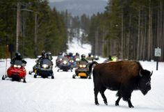 Traffic Alert: Snowmobiling in Yellowstone...would love to snowmobile in Yellowstone