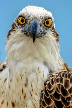 Photograph Osprey Head-on Portrait by Andrew Tingle on 500px