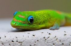 Pay attention to the small things, like tgis little pest. Gold dust day gecko (Phelsuma laticauda laticauda) by cbabbitt, via Flickr #Hawaii