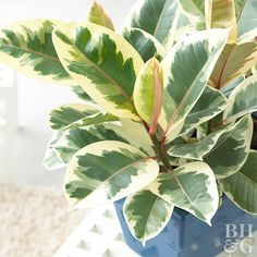 With large, gorgeous green, bronze, or variegated leaves, rubber trees will make a bold statement in any room of your house. These beautie. Indoor Palms, Indoor Trees, Ficus Elastica, Corn Plant, Rubber Tree, Rubber Plant, Easy Care Plants, Money Trees, Herbs Indoors