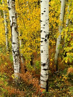 [bigstockphoto_Birch_Trees_818982.jpg]