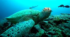 A giant green turtle rests on a coral reef at a diving site near the Malaysian island of Sipadan in Celebes Sea east of Borneo