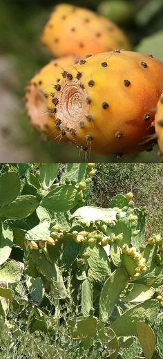 Opuntia ficus-indica is a domesticated cactus that has been used for food for at least 9000 years. Along with being a food source, this species has a number of medicinal uses including everything from treatment of enlarged prostate to treatment of colitis and irritable bowel syndrome to being a hangover cure. The cactus does have one drawback. Also in Marvao, in the summer. #Marvao #Alentejo #Portugal #travel #hotel #BoutiqueHotelPoejo