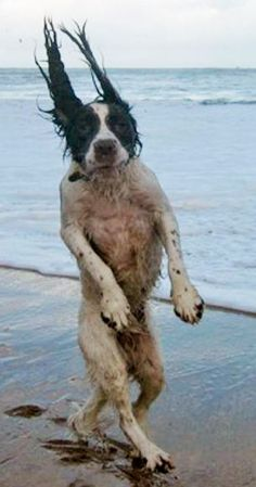 Here's spaniel Benny taking a stroll in blustery conditions at Grève de Lecq, Jersey - the brave pup was caught in a strong gust of wind in the blustery conditions.