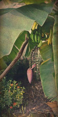 10x20 Nature Tropical Decor, Bananas, Bud, banana tree, caribbean decor, wall art, vacation, travel art, leaves, green red art decor