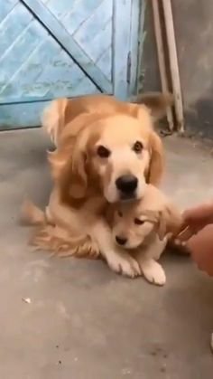 Super Cute Puppies, Cute Baby Dogs, Cute Funny Dogs, Cute Dogs And Puppies, Cute Funny Animals, Baby Cats, Cute Puppy Videos, Cute Animal Videos, Funny Animal Videos