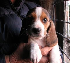 Beagle/Basset hound mix-- i still think baxter is part basset sometimes!