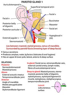 Instant Anatomy - Head and Neck - Areas/Organs - Parotid region - Parotid gland 1 Anatomy Head, Gross Anatomy, Brain Anatomy, Human Anatomy And Physiology, Dental Anatomy, Medical Anatomy, Parotid Gland, Medical Astrology, Medicine Notes