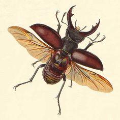 Biologia dos Insetos: Coleoptera