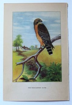 RED SHOULDERED HAWK & SPARROW HAWK on reverse 1923 Bird Print by R E. Todhunter  #Realism