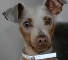 Blue is an adoptable Miniature Pinscher Dog in Anchorage, AK. A rare blue/fawn miniature pinscher. Blue is as sweet as sweet can be. A wonderful companion. Mini Pinscher, Miniature Pinscher, Doberman Pinscher, Chihuahua Dogs, Pet Dogs, Dogs And Puppies, Dog Cat, Shelter Dogs, Animal Shelter