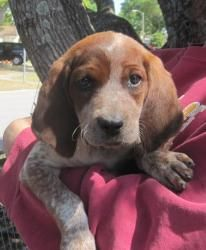 Rebecka is an adoptable Coonhound Dog in Winter Park, FL. Rebecka is an 8 week old Red Tick coonhound pup. Rebecka is a super friendly, sweet pup with a typical hound personality. Rebecka is ready for her new home now. She is spayed and up to date with her vaccines and healthy.
