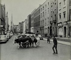 hopefully the boys in green can milk a few goals in Copenhagen 🇩🇰 tonight!photo: Driving cows down Denmark Street in Dublin city! Dublin Street, Dublin City, Old Pictures, Old Photos, Vintage Photos, Ireland People, Denmark Street, Visit Dublin, Irish Catholic