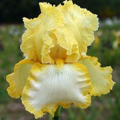 Tall Bearded Iris 'Sunshine and Snow'