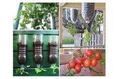 Como plantar tomate cereja em garrafa pet Encontramos a solução perfeita para as pessoas que desejam desfrutar de tomates caseiros, mas não tem um quintal. O projeto é muito simples e leva cerca de 15 min…