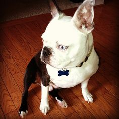 Boston Terrier by LilyWhitesParty@Flickr