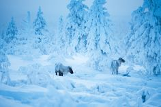 Winter and reindeers in Saariselkä, Finnish Lapland. Photo by Visit Finland. When I Dream, Finland Travel, Scandinavian Countries, World Geography, Winter Scenery, City Landscape, Amazing Pics, Filming Locations, My Heritage