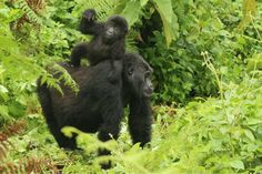 Image Gallery Archive | Page 5 of 10 | Dian Fossey