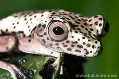 When these frogs are young they definitely take on the resemblance of a dalmatian with those spots.