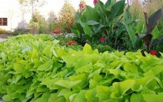 Potato vine (Ipomoea batatas)  and canna - plants for North Texas