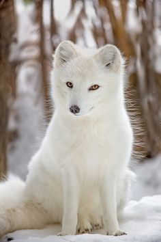 Arctic Fox - The lush white coat of the arctic fox provides both warmth and camouflage in the winter. - title Sly as a Fox Arctic Animals, Arctic Fox, Nature Animals, Animals And Pets, Strange Animals, Wild Animals, Fuchs Baby, White Fox, Snow White