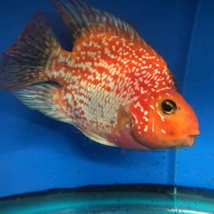 51 best blood red parrot cichlids and other parrot hybrids images on