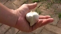 How to Grow Garlic Indoors    Garlic is not just for cooking.  Grow year round for your own antibiotic, give to pets for flea prevention.