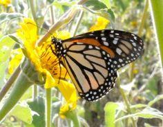 el santuario de la mariposa monarca es un ecosistema natural - Pesquisa Google