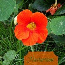 Nasturtium: Health From a Flower-http://thymetoembraceherbs.com