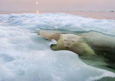 National Geographic フォトコンテスト2013 >【 グランプリ及びNature部門/最優秀賞 】 「ハドソン湾で解けつつある海氷の下からこちらを見上げる白熊。その向こうでは記録的な暖かい天候が続く中、ぼんやりと光る大気を背景に沈みゆく真夜中の太陽が赤く光る。今は白夜なのだ。世界最北端のカナダのマニトバ州に生息する白熊は、温暖化と解氷によって特に深刻な絶滅の危機に瀕している。」写真及び説明:ポール・ソウダース
