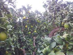"Las naranjas ecológicas ya ""pintan"""
