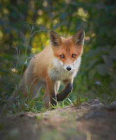 "Niko Pekonen (@npekonen) auf Instagram: ""Red fox (vulpes vulpes) walking in forest. Finland  #photoarena_nature #splendid_animals…"""