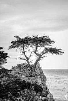 The infamous Lonely Cypress Tree on the 17 Mile Drive near Carmel by the Sea.
