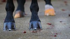 Tips to Picking a Horse's Hoof