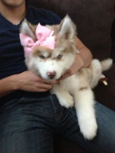 Merle husky puppy with blue eyes <3