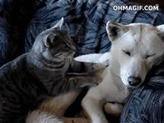 Cute cat massaging dog..