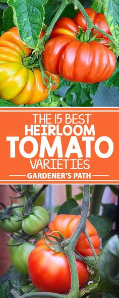 Before you plant tomatoes, read this article from Gardener's Path and discover 15 heirloom varieties bursting with flavors the whole family is sure to love. Growing Tomatoes From Seed, Growing Tomato Plants, Varieties Of Tomatoes, Tomato Seedlings, Growing Tomatoes In Containers, Growing Vegetables, Grow Tomatoes, Baby Tomatoes, Dried Tomatoes